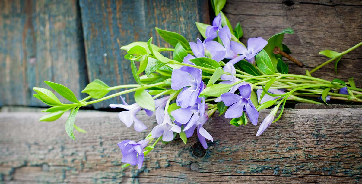 Leaves of a bright green and lilac flowers hanging from a wooden balcony