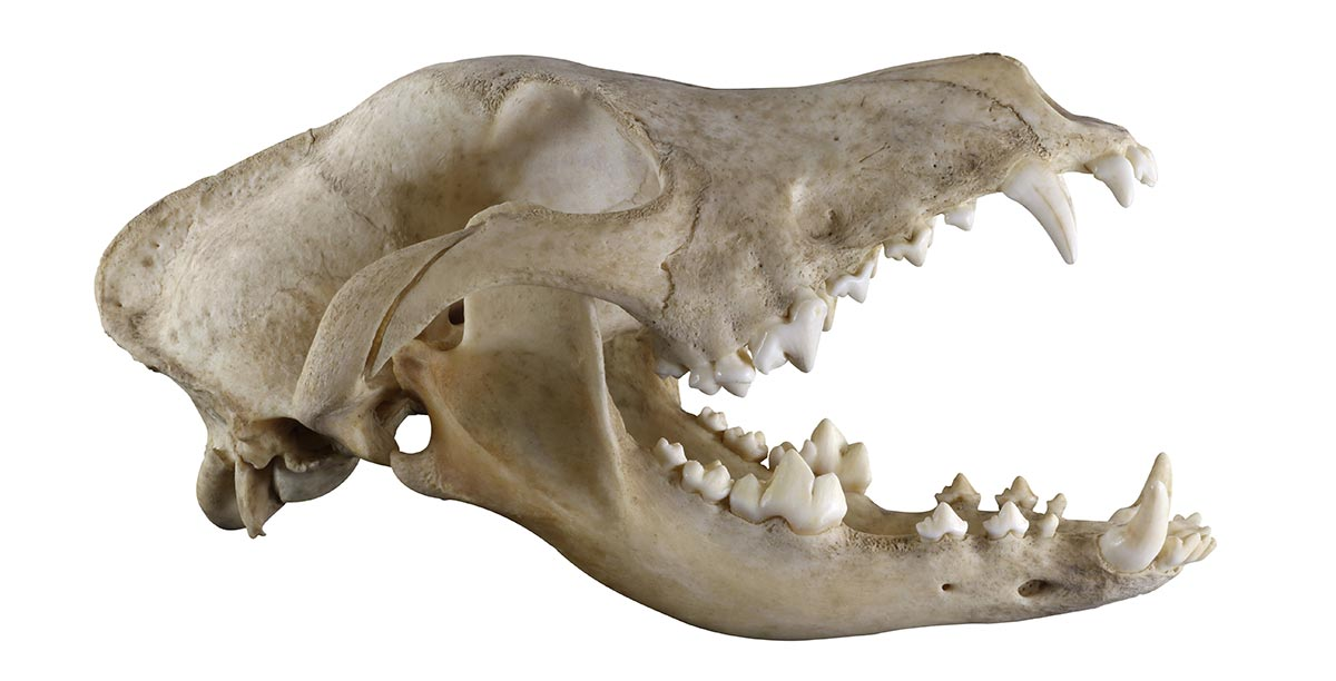 The skull of the Ursus Speleus