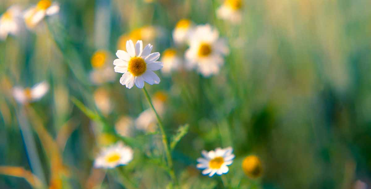 Little daisies in a lawn