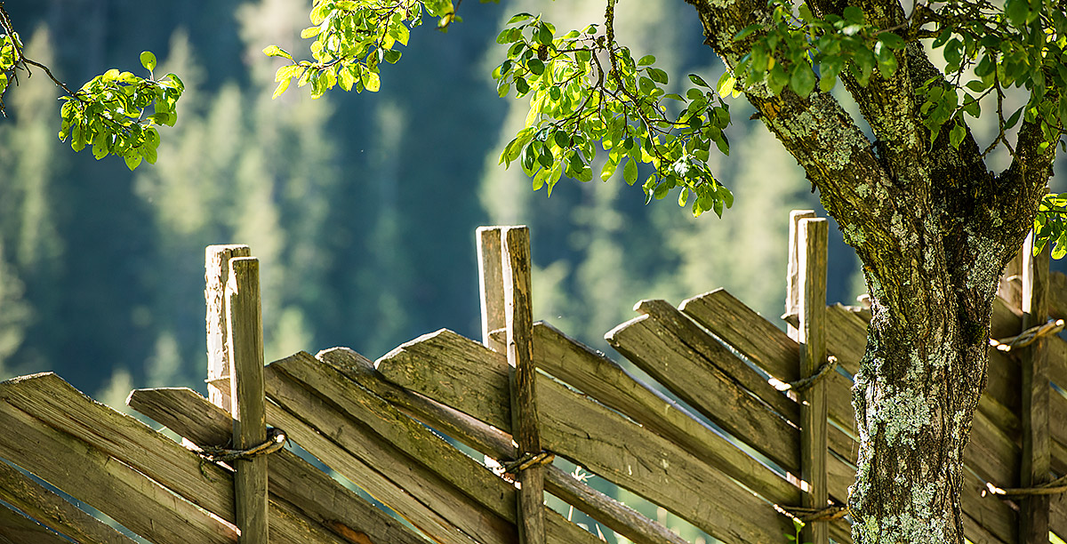 A fence and a tree with small green leaves